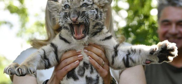 Kihagyhatatlan fotókkal mutatkozott be a debreceni tigriskölyök