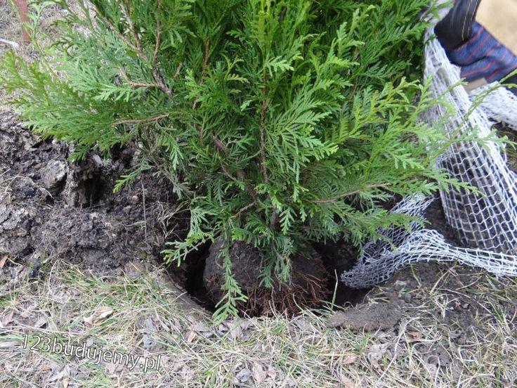 sadzenie #tuje #brabant dobrze jest obsypać intensywnie tuje korą - #Ogród, Zachodni, Teddy, Aureospicata, Aurescens, Smaragd, Danica, #Szmaragd, #Sadzonki, #Sadzenie, #Rozsada, Ziemia Do Iglaków, Iglaki, #Krzaczki, #Choinki, #Ogrodzenie