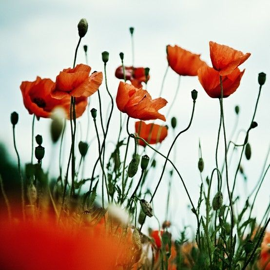 poppy by estelle: Angles, Poppies Red, Color, Red Poppies, Red Flowers, Andrea Hübner, Orange Flowers, Aunt, August Flowers