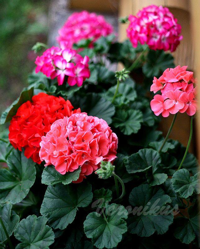 Катарантусы серии Cora Cascade и Mediterranian, а также гипсофила Gypsy Deep Rose и Pink - очень красивые и яркие цветы, совершенно неприхотливые в уходе. Но, увы, в Сибири не успевают набрать полную мощь к июлю. Фото сделано в последних числах июня.