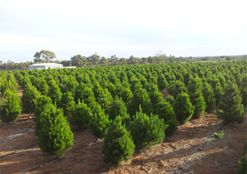 Beautiful aroma of a fresh pine tree this Christmas