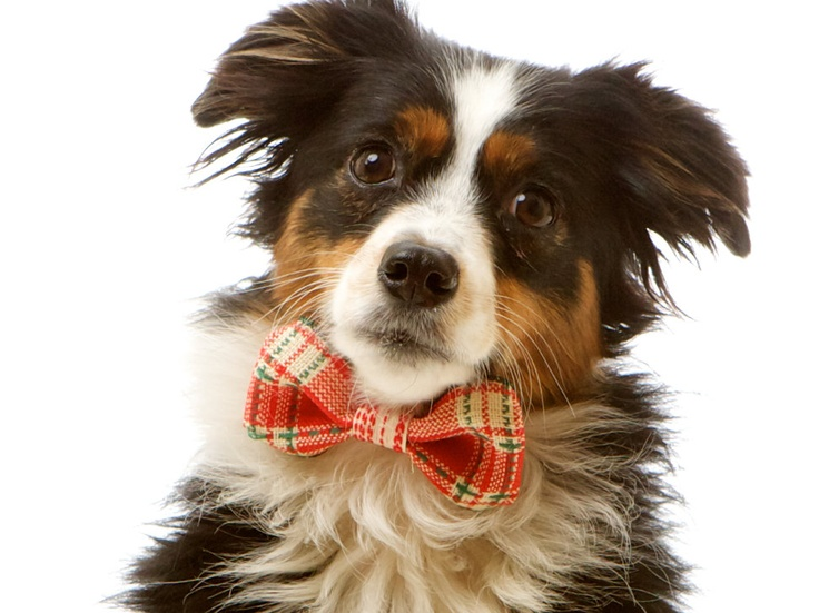 53 best Dogs Wearing Bow Ties images on Pinterest | Dog bow ties ...