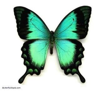 Peacock swallowtail