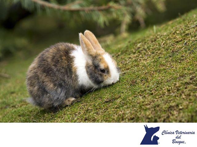 LA MEJOR VETERINARIA DE MÉXICO. Los conejos son mascotas que requieren de cuidados especiales para mantener un buen estado de salud. Su vida promedio oscila entre los 8 y 10 años,  son muy populares gracias a la pasividad de su carácter y son bastante sociables por lo que deben vivir en comunidades o en pareja. Se alimentan principalmente de hierba y se recomienda tenerlos en un espacio amplio en donde puedan mantenerse en movimiento. En Veterinaria del Bosque contamos con atención médica…