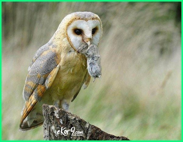 Makanan Burung Hantu Serak Jawa Barn Owl Atau Tyto Alba Burung Hantu Barn Owl Burung Hantu Boneka Burung Hantu