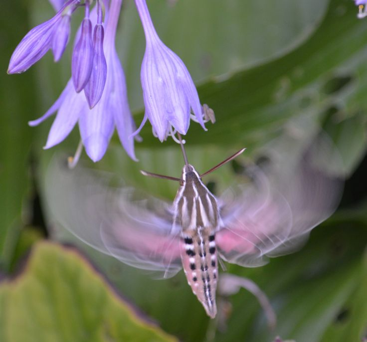 asian hummingbird moth