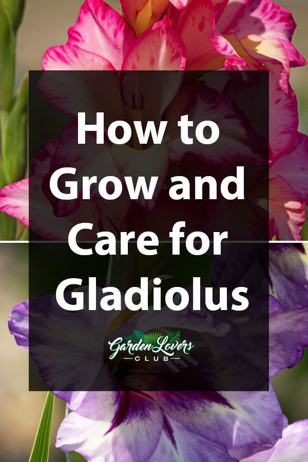 Gladiolus Plant Guide How To Grow And Care For Gladiolus Flower Gladiolus Flower Gladiolus Beautiful Flowers Garden