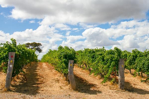 Vineyard at Margaret River, Australia