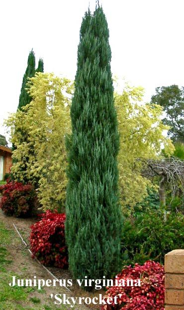 Skyrocket Juniper (Eastern Redcedar)  USDA zones 3 to 9.  Grows up to 30 feet high and 6 to 8 feet wide.  Sun to part shade.