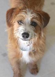 Butters is an adoptable Dachshund Dog in El Cajon, CA. We would like to introduce you to Butters, a 6 month old, 13 lb., wire-haired Dachshund/Jack Russell Terrier mix. See if you can resist those bi...