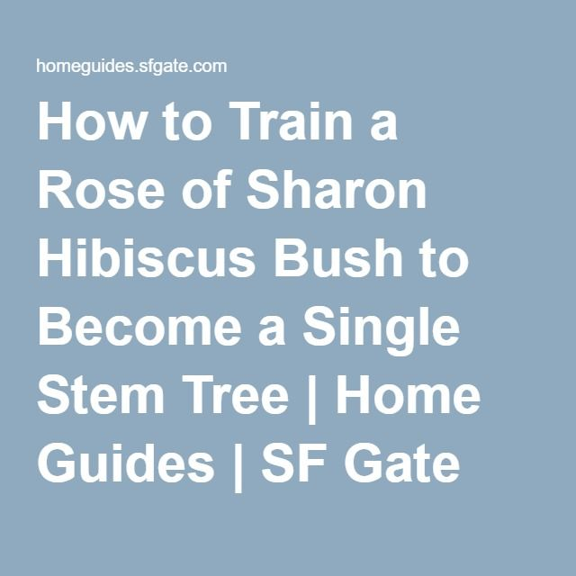 How to Train a Rose of Sharon Hibiscus Bush to Become a Single Stem Tree | Home Guides | SF Gate