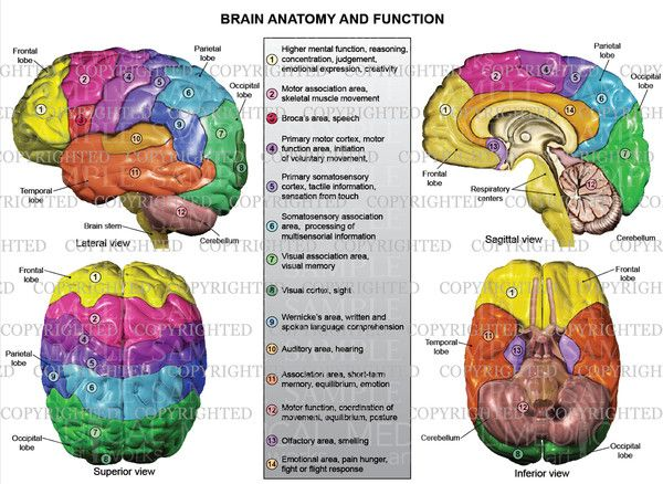 brain anatomy and functions - Google Search