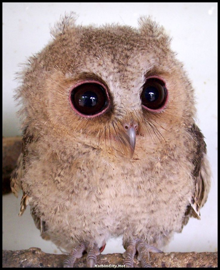 Çok sevimli bir baykuş. belgesel/belgesel izle/tarih Baykuşlar
