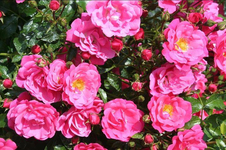 Emera offre ses fleurs semi doubles de 4 5 cm group es - Rosier mange par des chenilles ...