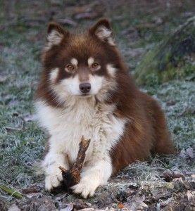 finnish-lapinkoira-eleveur-chien-finnois-champion