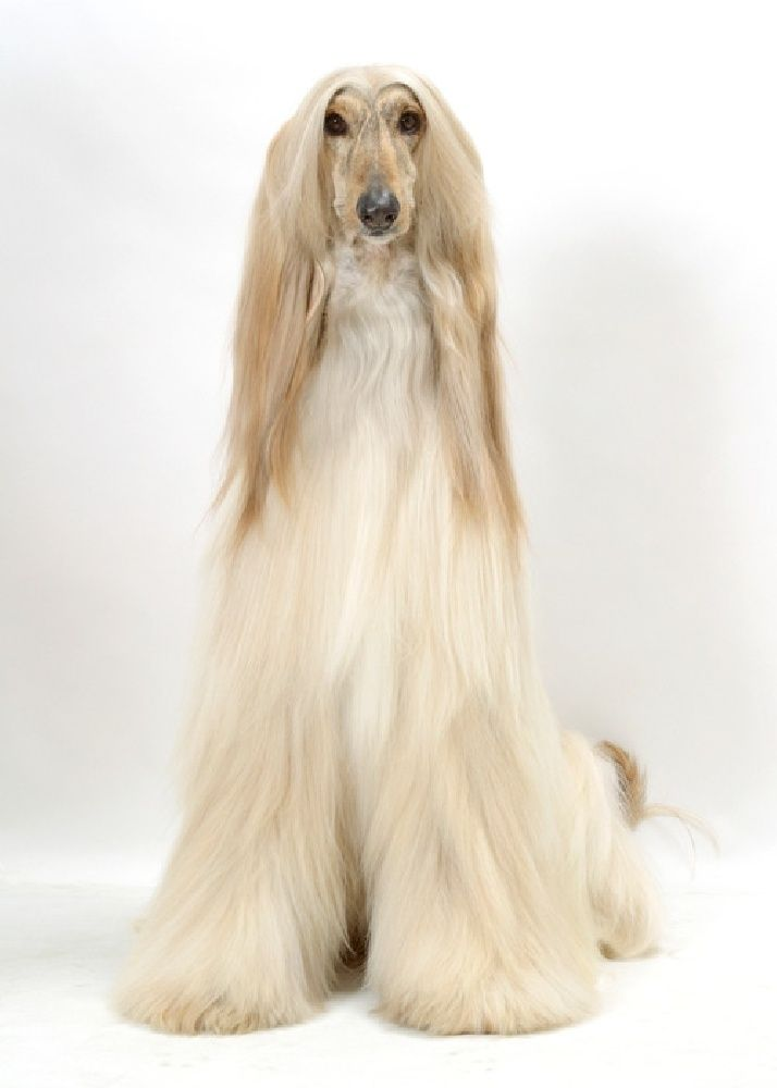 Afghan Hound - one of the oldest breeds in existence, the Afghan hound is one of the coursing sight hounds bred to course small and large game like wild hares and gazelle.