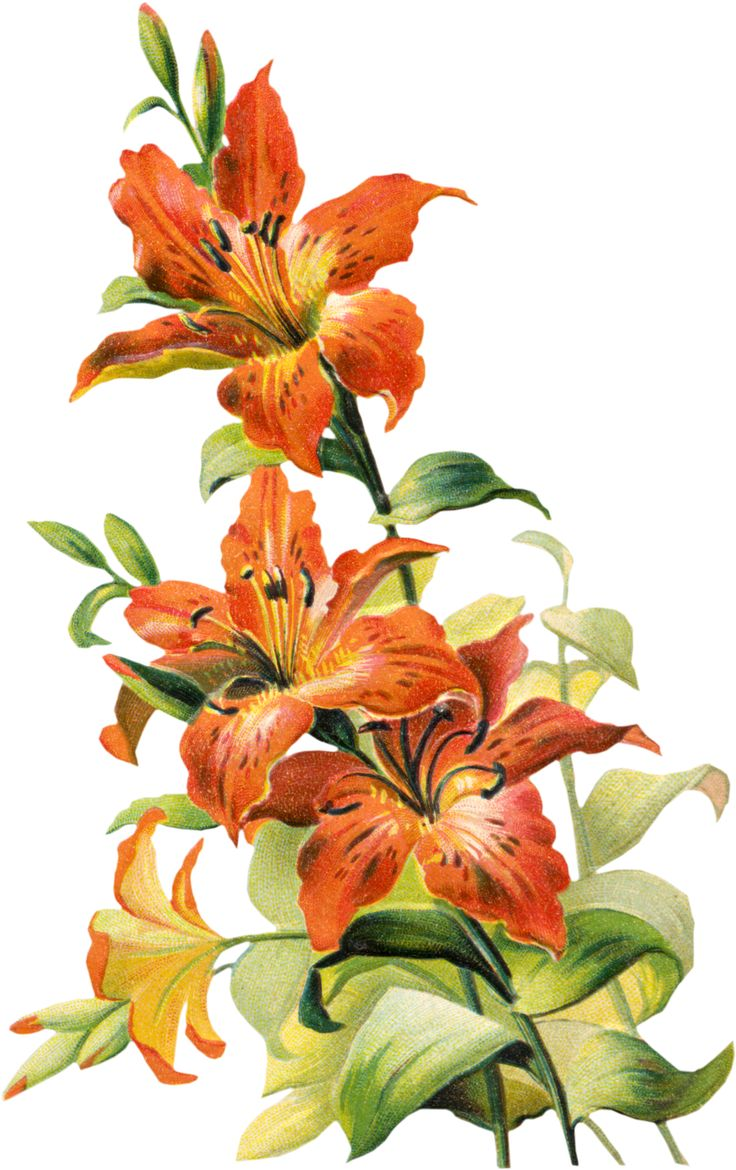 151 best images on pinterest irises lily and lilies free vintage tiger lily flower izmirmasajfo