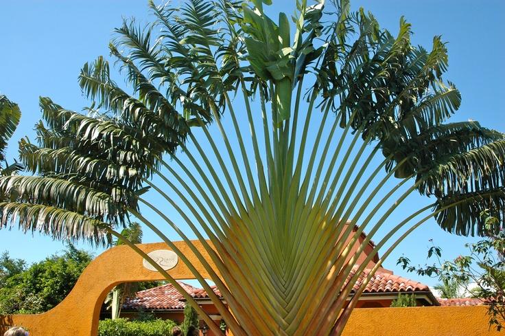Travelers Palm in Jamaica