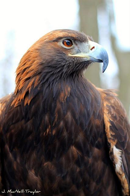 Eagle ...
