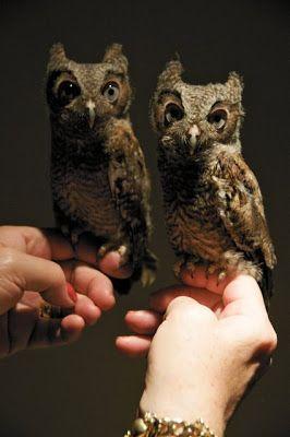 Screech Owls  Pinned by www.myowlbarn.com