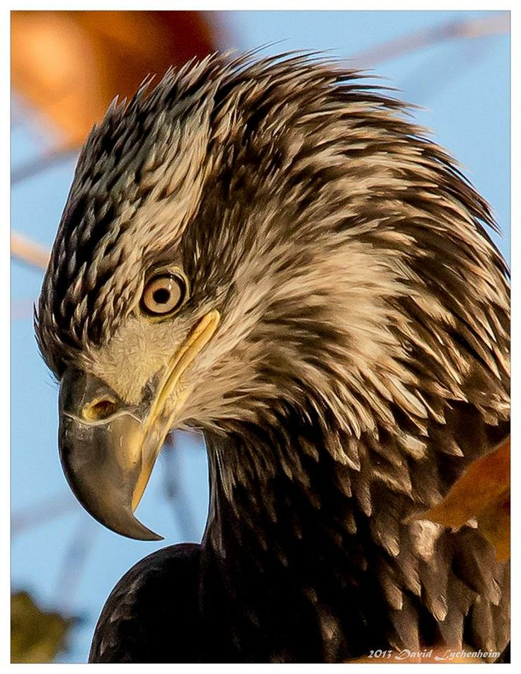 A simply beautiful immature Bald Eagle by Dave Lych