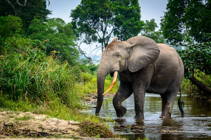 A forest elephant crossing a river  in Odzala National Park in the Republic of the Congo. See more of our work at http://www.rogerandpatdelaharpe.com