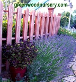 Munstead lavender plants make a beautiful evergreen hedge.