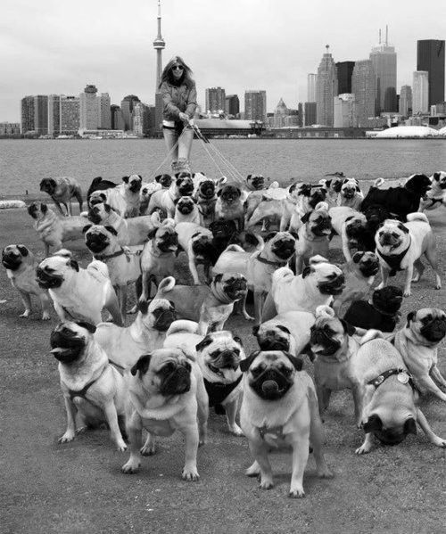 woman walking dogs | woman in the city walking a large amount of dogs.