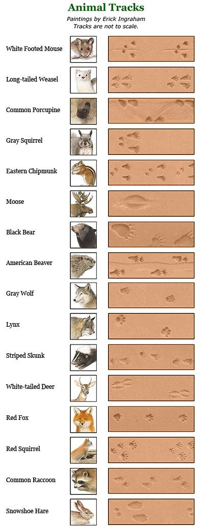 Not all of these critters are found in Iowa, but still a good guide to help ID animal tracks!