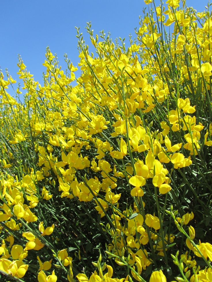 Spanish Broom in New Mexico