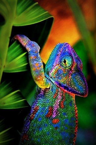 Amazing colorful Chameleion lizard. It's a Colorful Life ~ETS #chameleon