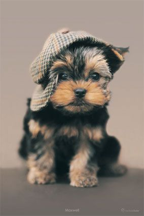 Loving this little guyHats, Dogs, So Cute, Yorkie Puppies, Pets, Adorable, Sherlock Holmes, Yorkshire Terriers, Animal