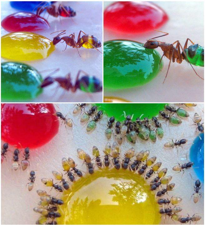 Odwłoki mrówek nabierają kolorów tego, co mrówki jedzą. Fot. Mohamed Babu