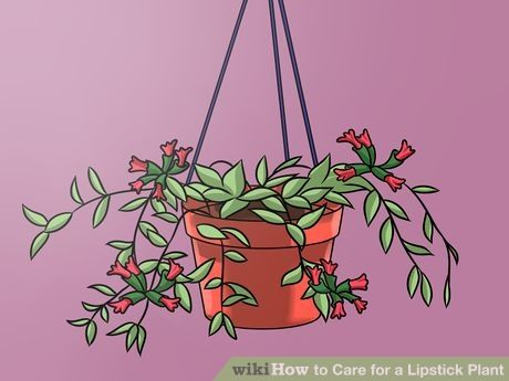Image titled Care for a Lipstick Plant Step 2