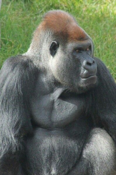 Silverback gorilla,  Werribee open range zoo