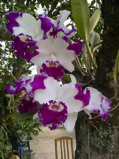 Gorgeous Cattleya                                                                                                                                                                                 Mais