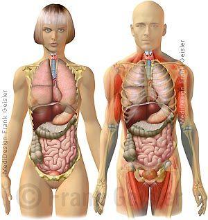 Anatomie Mensch, innere Organe Frau und Mann, Ansicht Körper von vorn