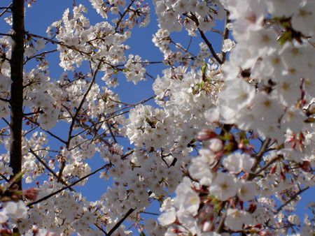 17 Best Ideas About Yoshino Cherry Tree On Pinterest