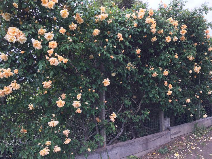 Crepescule rose