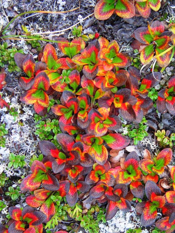 Purple, yellow, orange, scarlet:these bear berries seem like they're trying to outdo the rest of the #fall foilage in #Alaska. @GatesArcticNPS  Imagine 8.4 million acres of wild and essentially untouched and undeveloped wilderness of superlative natural beauty and scientific value.