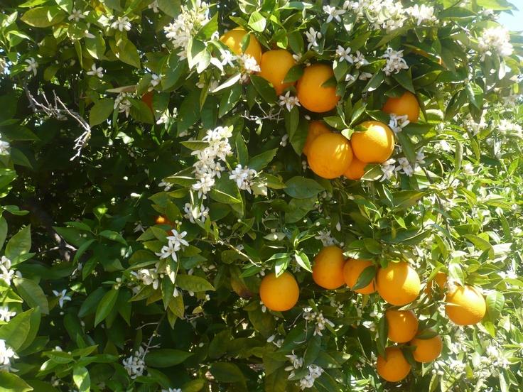 Navelate y Flor de Azahar - En el mes de abril, la explosión de la primavera en el naranjo.