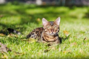Learn more about Bengal cat breed. Get to know your new Beautiful Bengal Kitten
