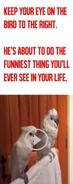 I AM COMPLETELY AGAINST PEOPLE KEEPING BIRDS AS PETS BUT THIS IS SUPER ADORABLE! The longer you watch this video, the funnier it gets! LOL!!