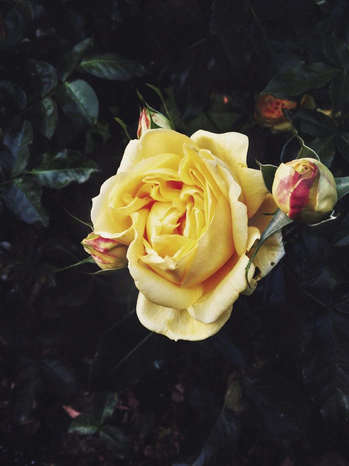 Keltaiset ruusut / Yellow roses - Suvi sur le vif   Lily.fi