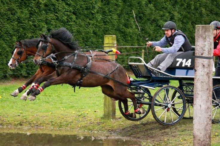 caspian ponies. sport buggy.