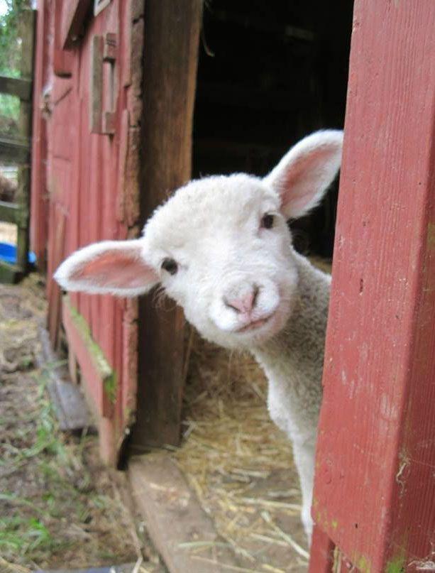 Little lamb on the farm
