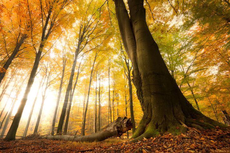 The king of forest by shade-pl   #PolskaMalowana #fotografia #photography #autumn #fall #jesień #tree #drzewo #forest #las #liście #leaves