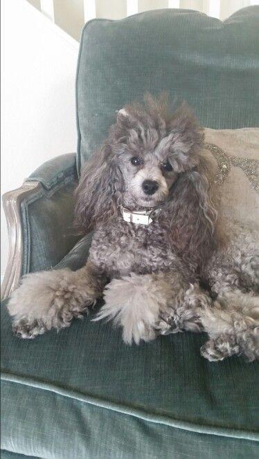 "Silver toy poodle ""Remington"""