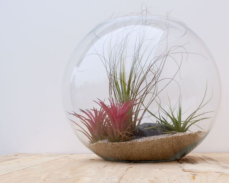 Terra Globe: Air Plant Terrarium from Airplants.gr #Tillandsia #Concolore #Ionantha_Scaposa #Juncea #AirPlant # #Terrarium