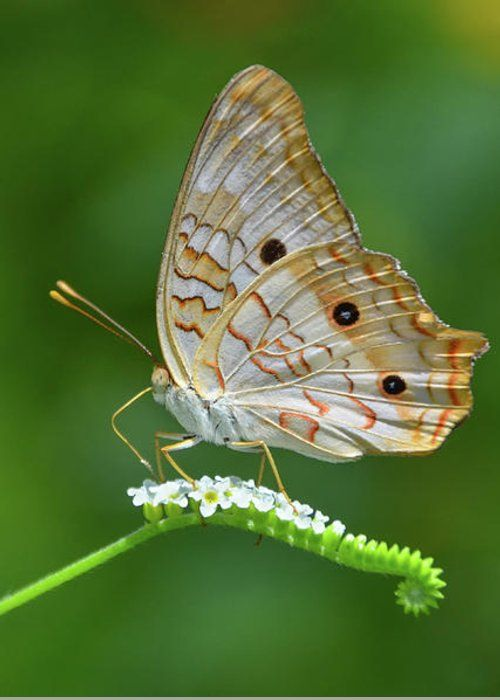 White Peacock Butterfly On Small White Flowers by Artful Imagery
